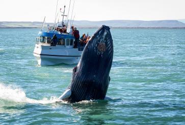 Whale safari in Húsavík